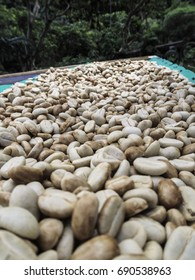 Coffee beans being dried in Mindo Ecuador