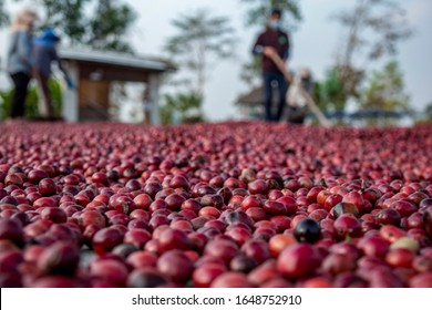 coffee beans berries drying natural process on the cement ground floor, Farmer is drying coffee beans with naturally process, asian Thailand.