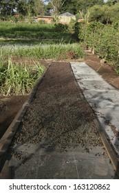 Coffee beans drying at Gibbs Farm, Tanzania