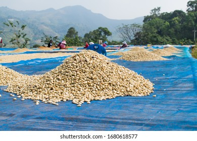 Coffee beans drying in the sun. Coffee plantations on the mountains.