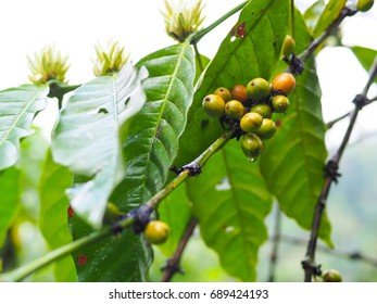 Coffee beans with flower on coffee tree