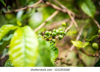 coffee beans growing on a coffee tree ready to be harvested