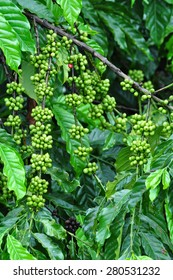 Coffee beans growing on coffee tree in Coorg, India.