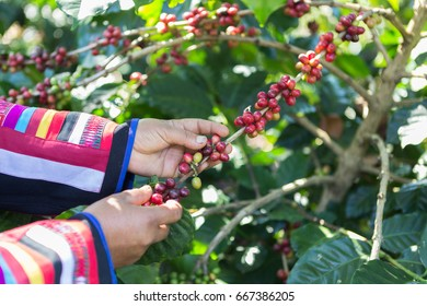 coffee beans hands harvesting