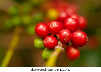 Coffee beans mature ready to pick up on tree - coffeea arabica