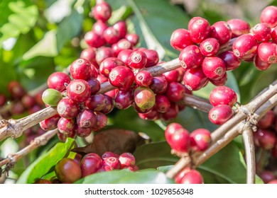 Coffee beans on the branch in coffee plantation farm at Northern mountain.