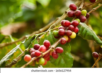 Coffee beans on the branch that pigs harvest.