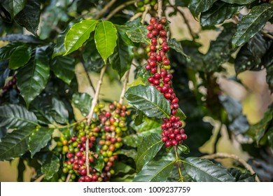 Coffee beans on a branch of tree in garden, coffee seed, selective focus