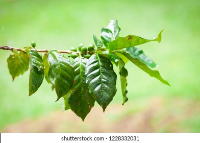 coffee beans on branch of coffee tree with leaves