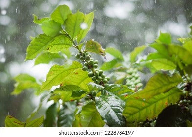 coffee beans on branch of coffee tree with raining weather