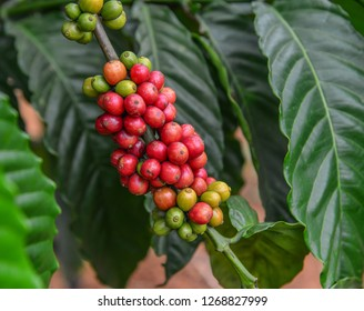 Coffee beans on a plant in Dalat, Central Highland, Vietnam.