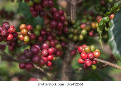 Coffee beans on the tree
