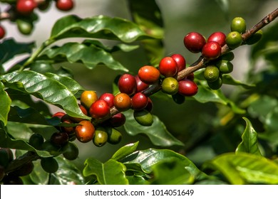 coffee beans on coffee tree, in Brazil