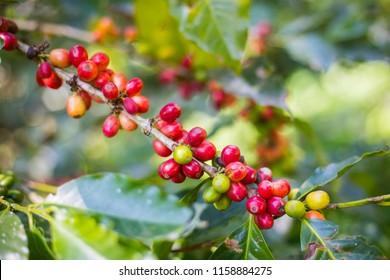 Coffee beans on trees.