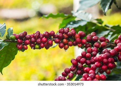 Coffee beans on trees,Coffee beans ripening on tree in North of thailand