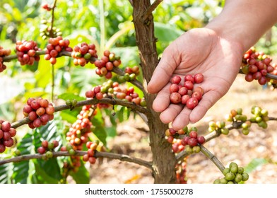 Coffee beans ripe on hand and coffee tree in plantations background with copy space.