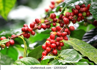 Coffee beans ripening, fresh coffee,red berry branch, industry agriculture on tree in North of thailand