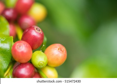 Coffee beans ripening on the branch,Coffee beans ripening on tree in North of thailand