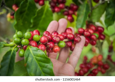 Coffee beans ripening on tree in North of thailand. fresh coffee cherry