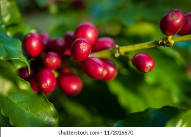 Coffee beans ripening on tree