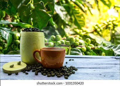 Coffee beans with seeds on the farm.A cup of hot coffee with coffee beans on a wood table and a background of coffee beans in the garden.
