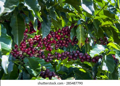 Coffee beans at Coffee tree in Brazil