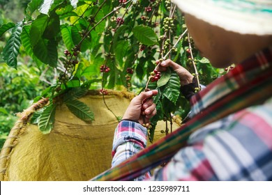 Coffee berries with agriculturist in Thailand.