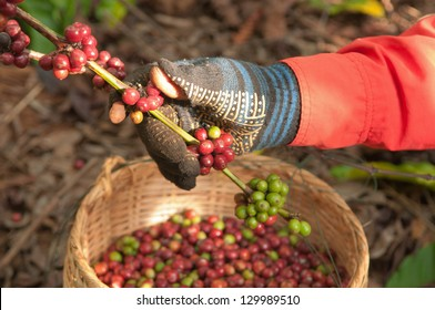 coffee berries beans harvested by hand