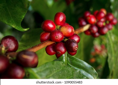 Coffee berries (cherries) grow in clusters along the branch of the coffee tree in organic plantation.