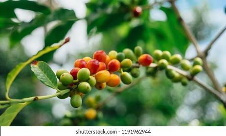 Coffee Berries close up, Kona, Hawaii
