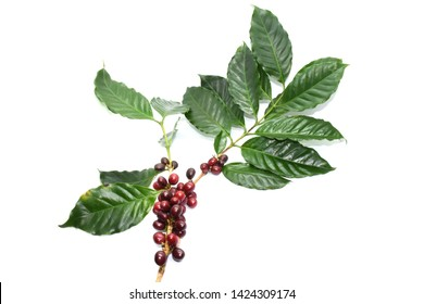 Coffee berries on branch coffee and leaves green on white background.