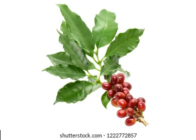 Coffee berry red on branch and leaves coffee on white background.
