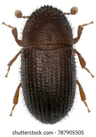 The coffee borer beetle or coffee berry borer (Hypothenemus hampei) is an insect belonging to the bark beetles (Scolytinae). Isolated on a white background