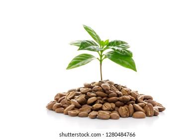 Coffee bud and coffee beans