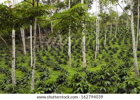 Coffee bushes in a shade-grown organic coffee plantation on the western slopes of the Andes in Ecuador
