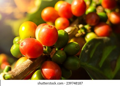 Coffee cherries or coffee bean on tree with sunlight.