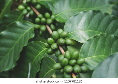 Coffee cherries , coffee beans ripening on coffee tree