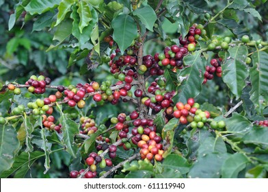 Coffee cherries , coffee beans ripening on coffee tree in Colombia.