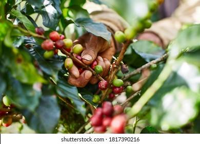 Coffee cherries gathering by farmers in Vietnam.