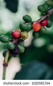 Coffee Cherries with raw coffee beans on the tree on a coffee plantation