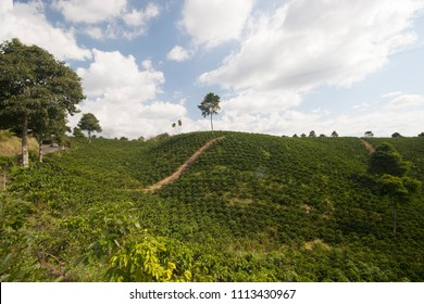 coffee crops in the coffee axis