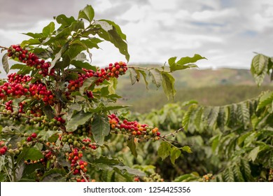Coffee cup. Coffee Plantation. Coffee beans background. Coffee area landscape. Dalat, Vietnam.