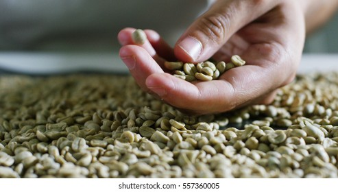 A coffee experienced man checked coffee beans roasting to see the texture, color, selection of high quality. concept of Italy, superior quality and attention to detail of the coffee and love of nature