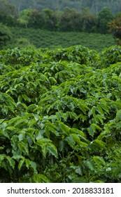 Ferme de café en Amérique Latine, le café est l'une des cultures les plus importantes pour les humanités. Le café fait courir le monde