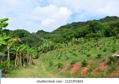 Coffee Farm in Puerto Rico, Recovering from Hurricane Maria, Coffee plantain in the Puerto Rican mountains.