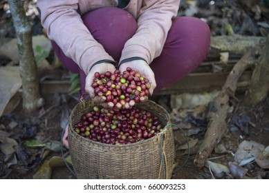 Coffee farmer hands holding freshly picked red ripen arabica coffee berries from  bamboo basket at coffee plantation