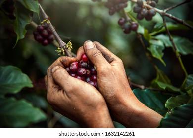 Coffee farmer is harvesting coffee berries in the coffee farm, arabica coffee berries with agriculturist hands