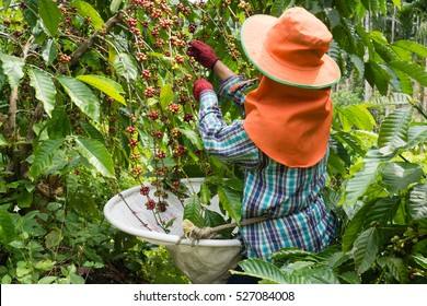 Coffee farmer harvesting coffee cherry