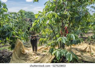 Coffee farmer picking ripe coffee  beans, Bao Loc town, Da Lat city, Vietnam