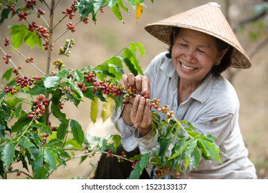 Coffee farmers are harvesting coffee berries on a coffee farm in Vietnam, Asia.